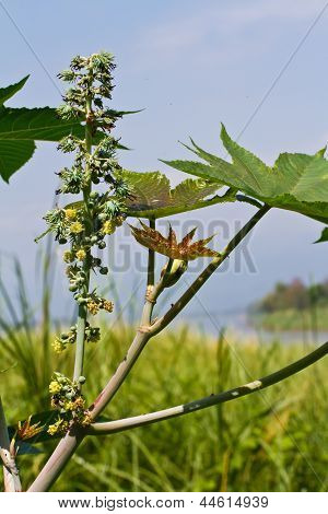 Seed pods of castor bean plants for biodiesel production