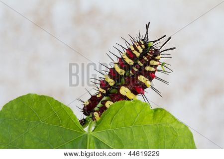 Caterpillar eating on green leaf