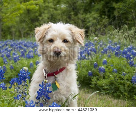 Young Scroffy Dog Sitting In The Bluebonnets