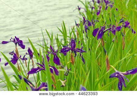 iris flavors