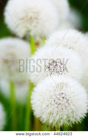 White Blowball