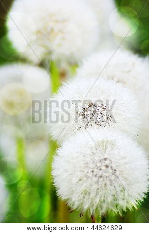 White Blowball Background