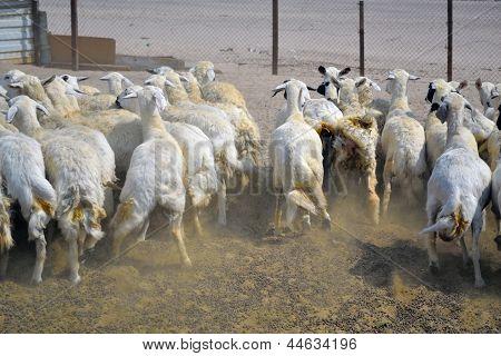 Ewes fugitive