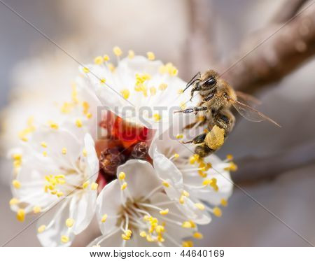 Bee Collects Honey On A Flower
