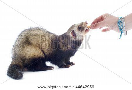 Alimentação Ferret