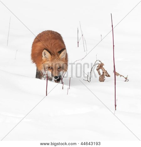 Red Fox (Vulpes vulpes) Runs Through Plants In Snow