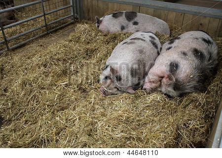 Three Pigs Sleeping