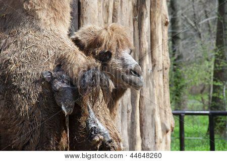 Geburt eines Kamels