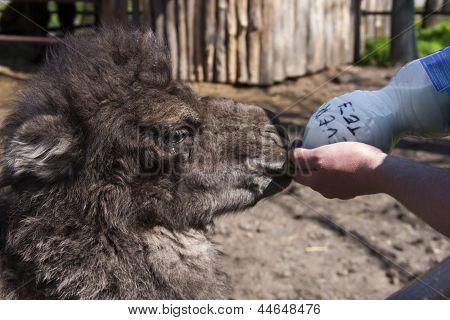 Fütterung einen Kamel Kalb