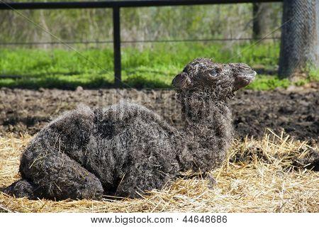 Neugeborenen Kamel