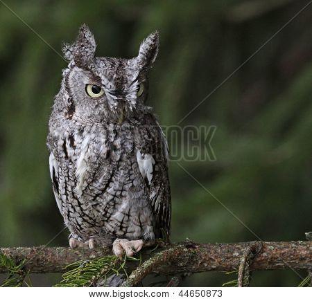 Focused Eastern Screech Owl