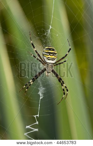 Black-yellow Spider