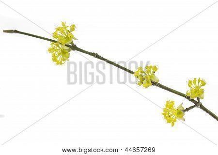 Blooming Cornelian Cherry