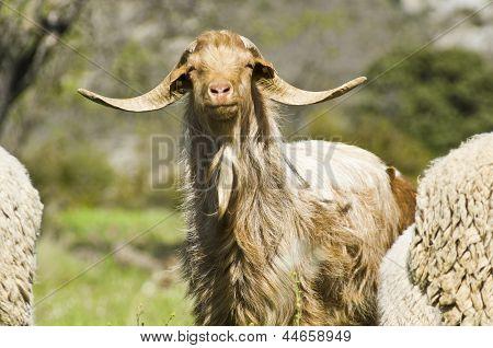 Brown Goat