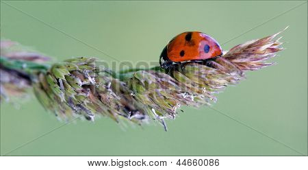 Ladybug Coccinellidae Anatis Ocellata