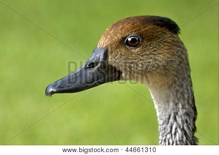 Side Of Duck Whit Black Eye