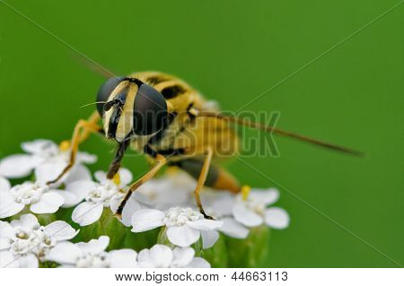 Front Of Wild Fly Diptera Syrphidae