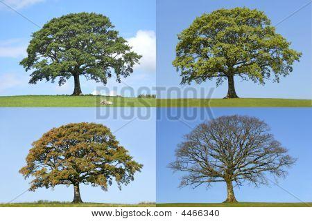 Cuatro estaciones del árbol de roble