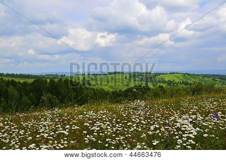 Summer Landscape with daisies on a meadow in sunny day
