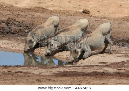 Three Little Pigs
