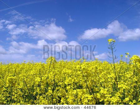 Golden Canola Field