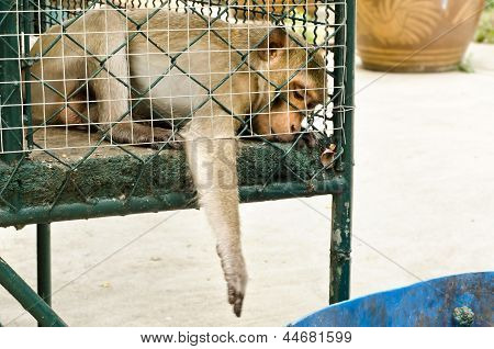 Sad Monkey Caged