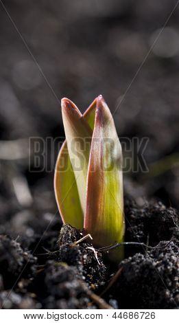 Brota flor