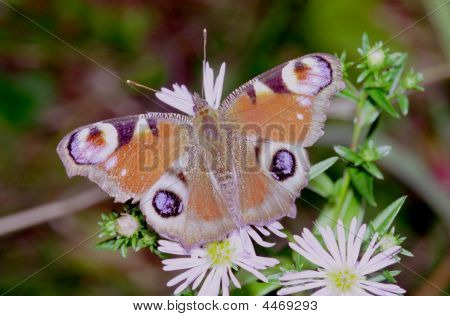 Beautiful Butterflies Of Moderate Climate Of Russia 35