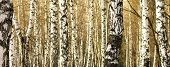 stock photo of birching  - Birch tree forest - JPG