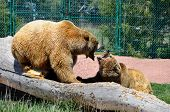 foto of growl  - Two grizzly bears growling and showing teeth at each other - JPG