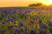 stock photo of early spring  - Texas wildflowers awash in early morning sunshine - JPG