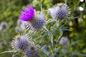 stock photo of scottish thistle  - Scottish Thistle in the middle of smmer