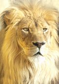 stock photo of leo  - close-up portrait of an african lion,panthera leo