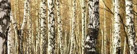 picture of birchwood  - Birch tree forest - JPG