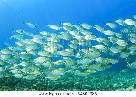 School of sardines fish