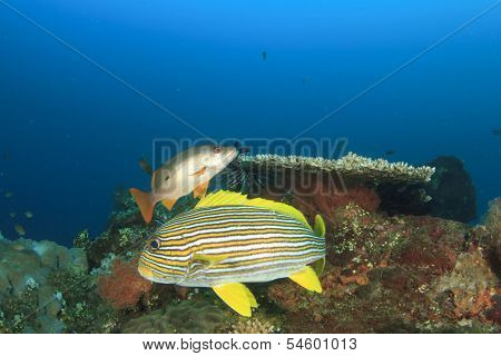 Tropical Fish (Sweetlips and snapper) on underwater coral reef