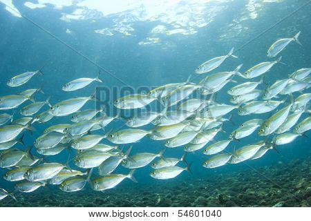 School of Sardine fish underwater