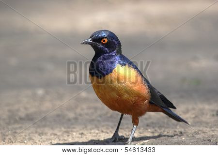 African Bird, Superb Starling, On The Ground