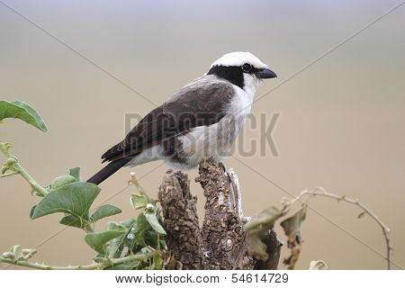 African Bird, Northern White-crowned Shrike, Perched On A Tree