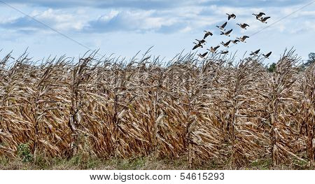 Cornfield And Geese