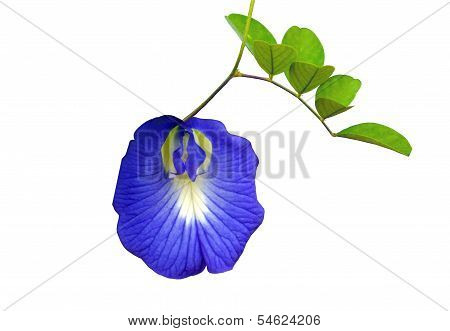 Blue flower of Butterfly pea isolated on white background