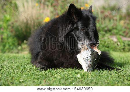 Hungry Dog Eating Fresh Fish