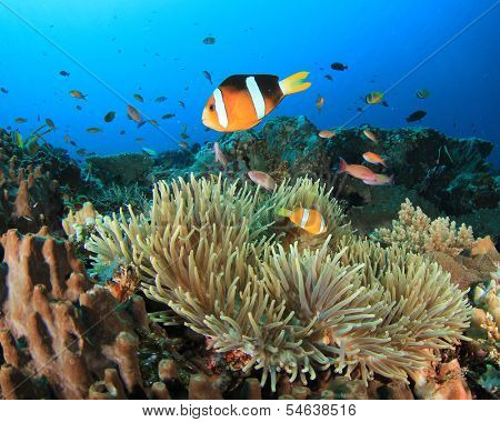 Anemonefish in anemone on underwater coral reef