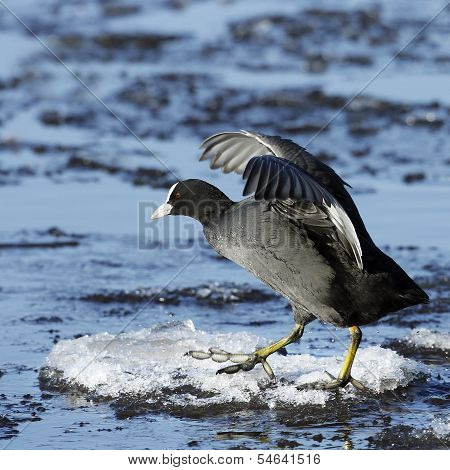 An Adult Coot (Fulica atra) walking on ice.