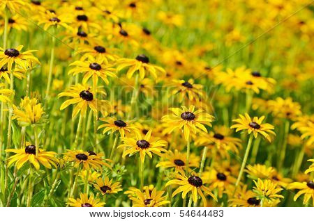 Rudbekia flowers