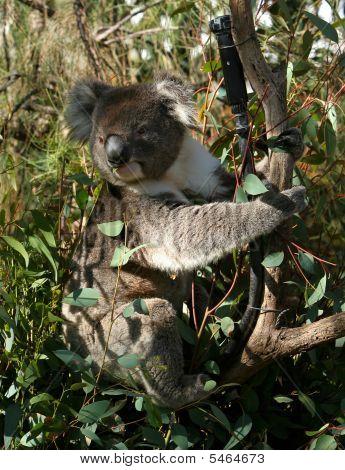 Koala en árbol