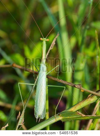 Small Pale Green Praying Mantis