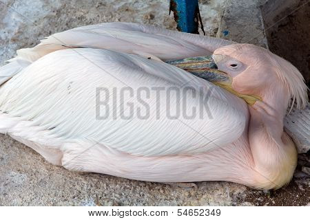 Big white pelican, Sleeping Pelican , close up
