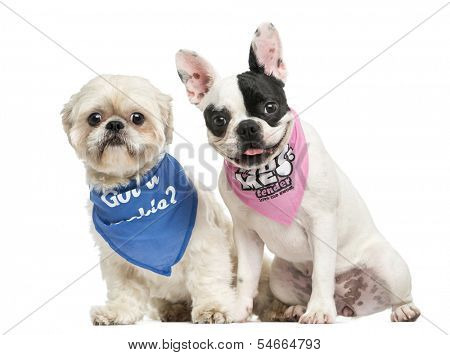 Shih Tzu and French Bulldog puppy wearing bandana sitting together, isolated on white