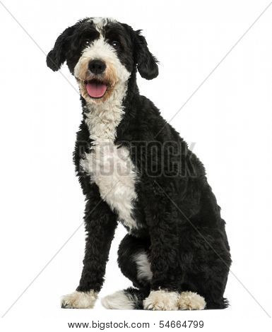 Crossbreed dog sitting, panting, 2 years old, isolated on white